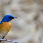Tickell-blue fly-catcher