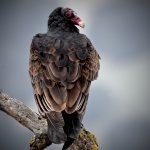 Turkey Vulture Portrait