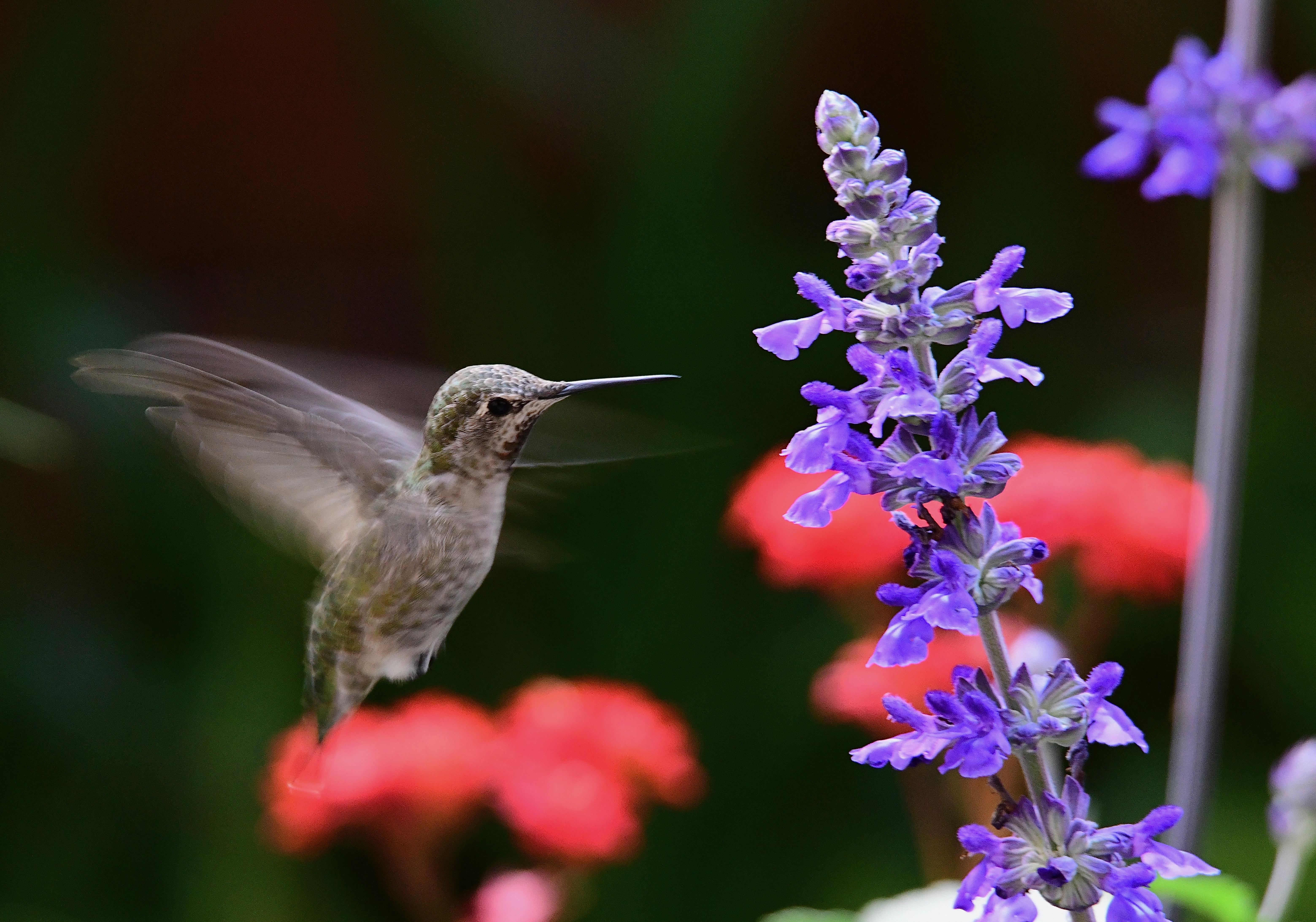 Anna's Hummingbird with wing turbulence at Sunnyvale, CA