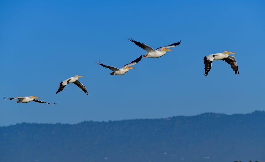 American White Pelicans at Byxbee Park Palo Alto California