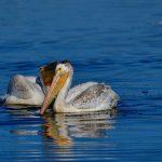 American White Pelicans at Byxbee Park, Palo Alto, California