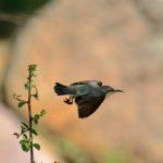 Purple sunbird female