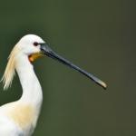 Spoon-billed stork