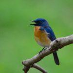 Tickell-blue Flycatcher