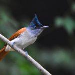 Paradise Fly-catcher, Female