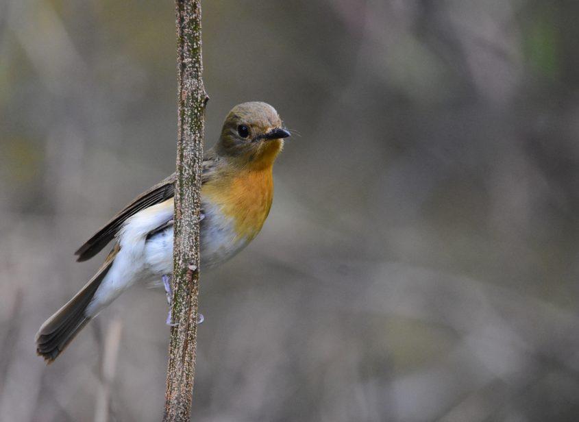 Indian Blue Robin, Female