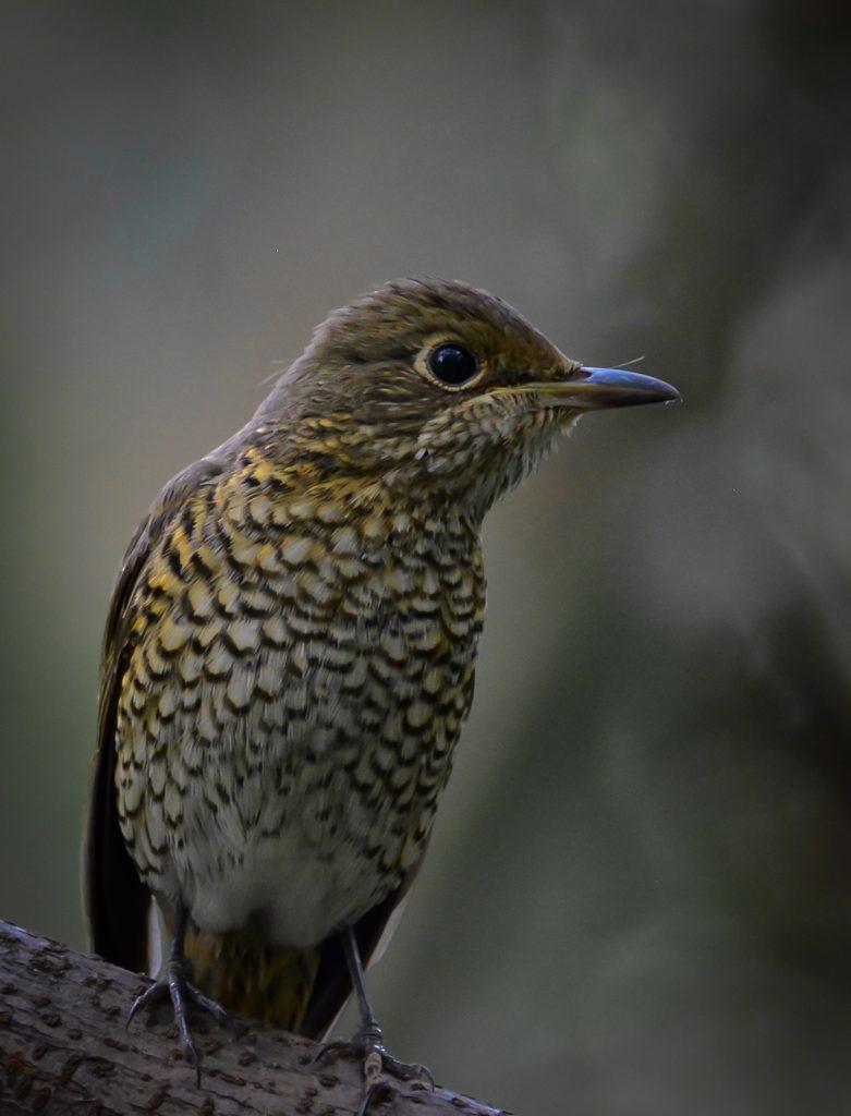 Blue-capped rock thrush female