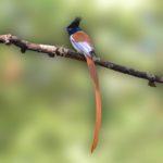 Paradise fly-catcher, Male, Juvenile