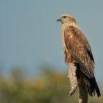 Brahminy kite, Juvenile