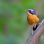 Indian Blue Robin, Male
