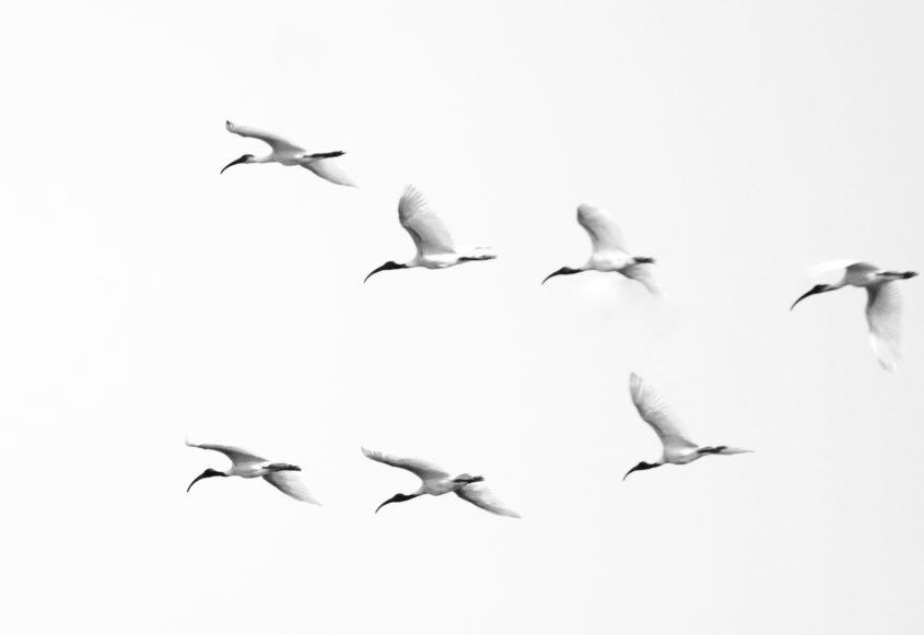 Flock of Black-headed ibis