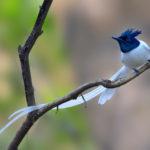 Paradise fly-catcher