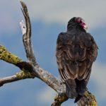 Turkey Vulture at Little Yosemite, Alameda County, CA