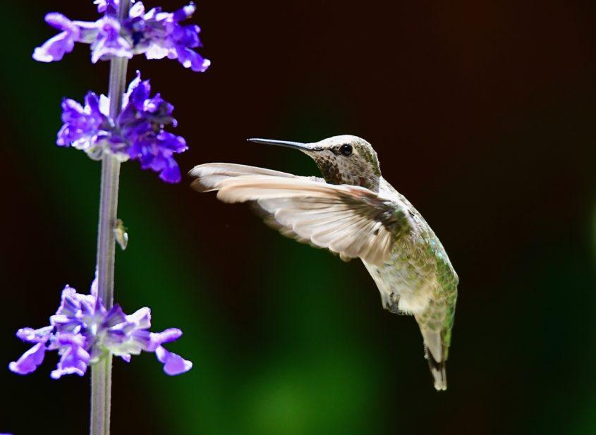 Anna's Hummingbird at Sunnyvale, CA