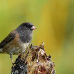 Dark-eyed Junco birdrunway