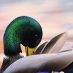 Mallard duck birdrunway