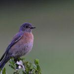 Western Bluebird at Los Altos Hills, CA