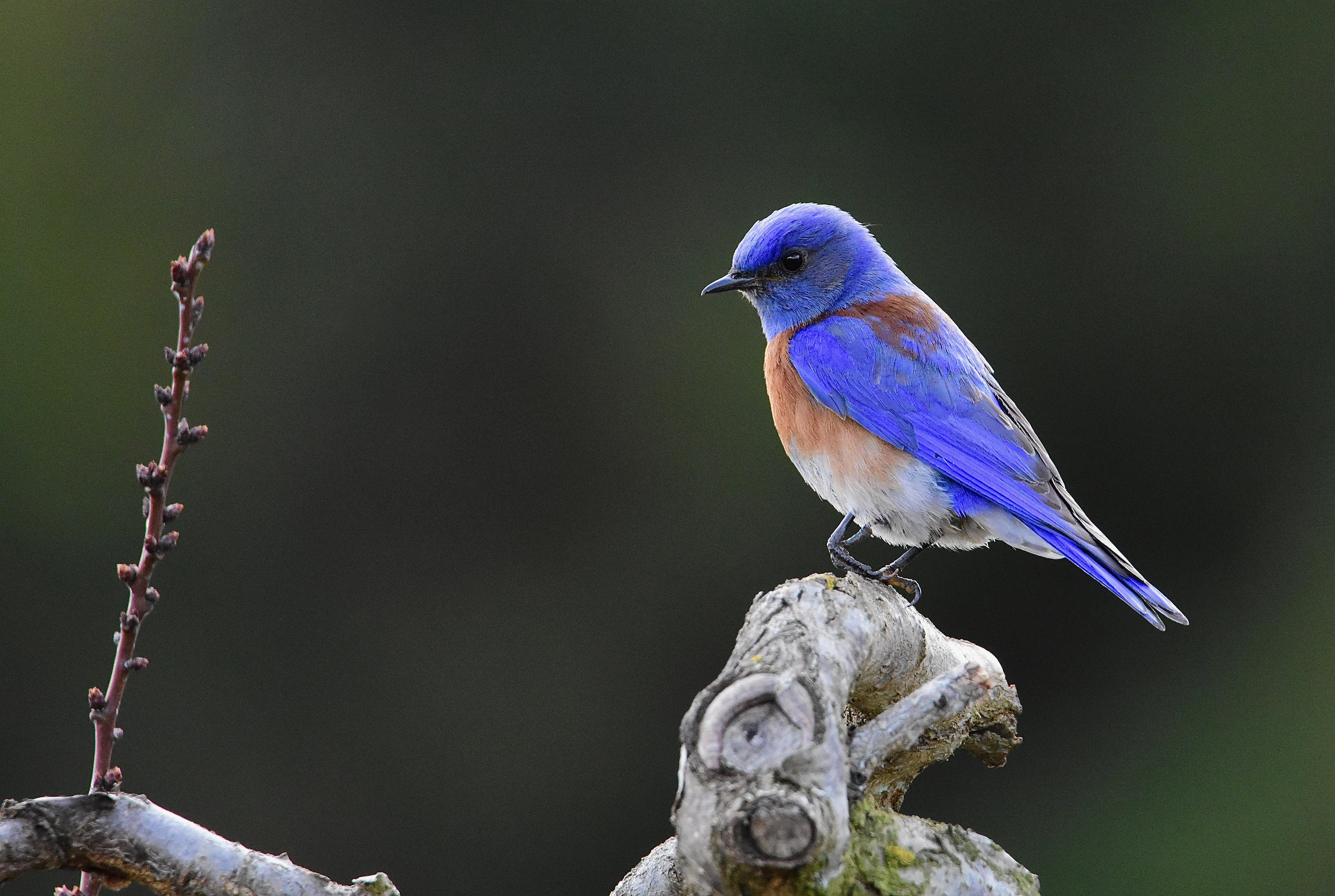 Western Bluebird at Heritage Orchard, Sunnyvale, CA