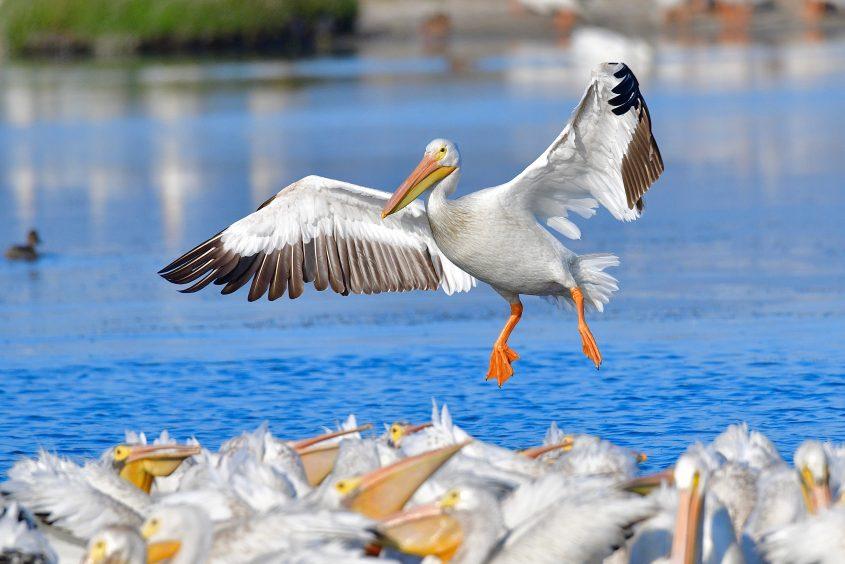 American White Pelican at Byxbee Park, Palo Alto, CA