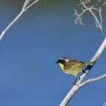 Common Yellowthroat at Baylands Park, Palo Alto, CA