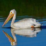 American White Pelican at Byxbee Park, Palo Alto, California