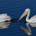American White Pelicans at Byxbee Park, Palo Alto, CA