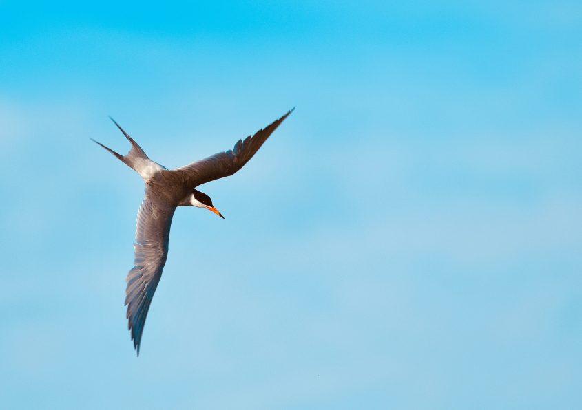 Forster's Tern at Byxbee Park, Palo Alto, CA, birdrunway