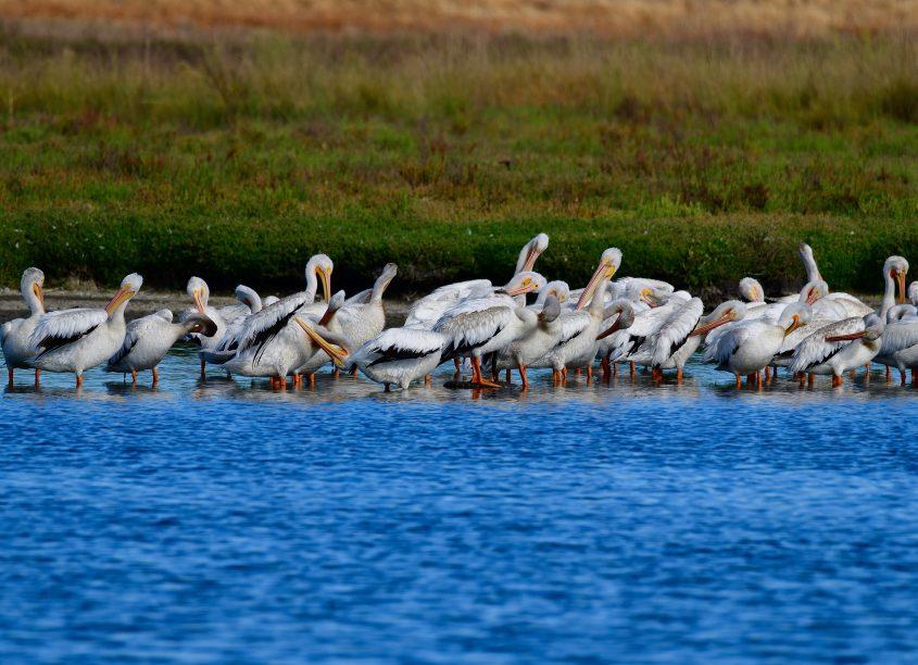 American White Pelicans at Byxbee Park, Palo Alto, CA, birdrunway