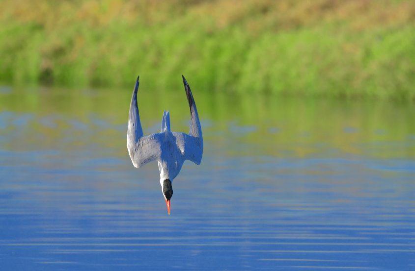 Caspian Tern diving at Byxbee Park, Palo Alto, CA