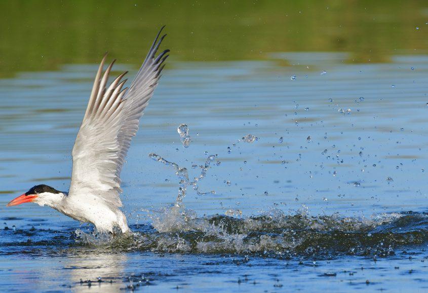 Caspian Tern at Byxbee Park, Palo Alto, CA