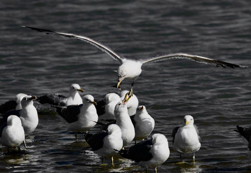 Gulls at Baylands Park, Palo Alto, CA