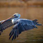 California Brown Pelican