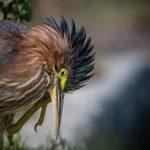 Green Heron at Baylands Park, Palo Alto